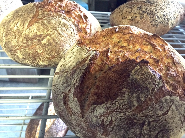 Anticipating a surge in hearth bread fans with the resumption of Purdue University classes, I baked several loaves of rye sourdough that disappeared quickly.